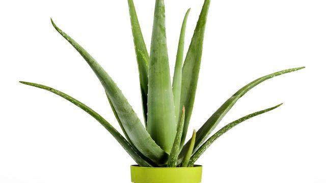 L'Aloe Vera