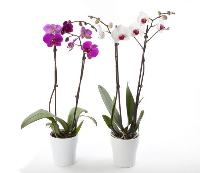 L'orchidée papillon